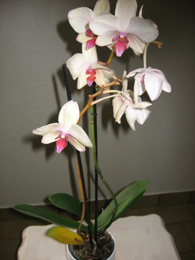 Ma première orchidée! - Page 2 Orchid11
