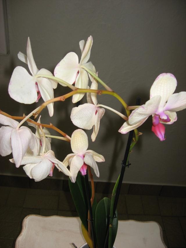 Ma première orchidée! - Page 2 Orchid12