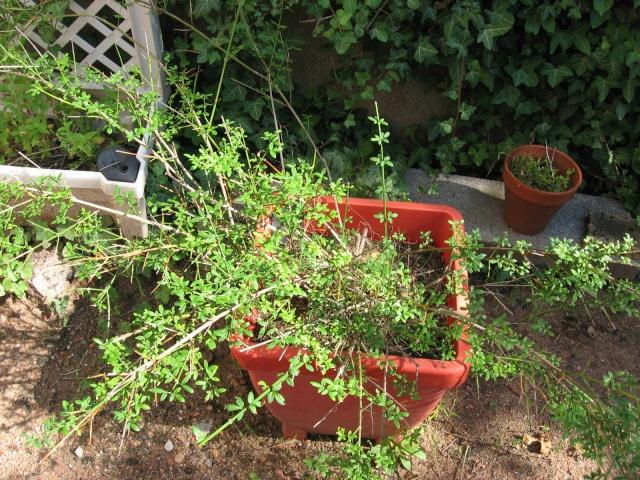 Petit arbuste inconnu?????? Plante10