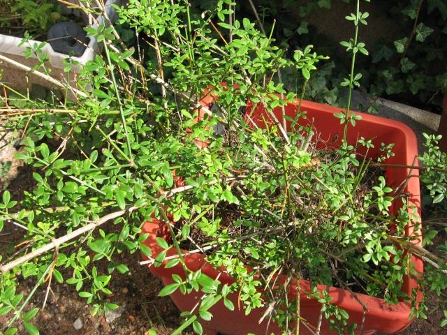 Petit arbuste inconnu?????? Plante11