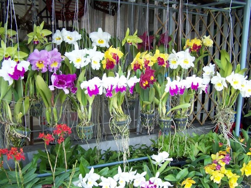 Orchidées, marché de Chatuchak, Bangkok 100_7710