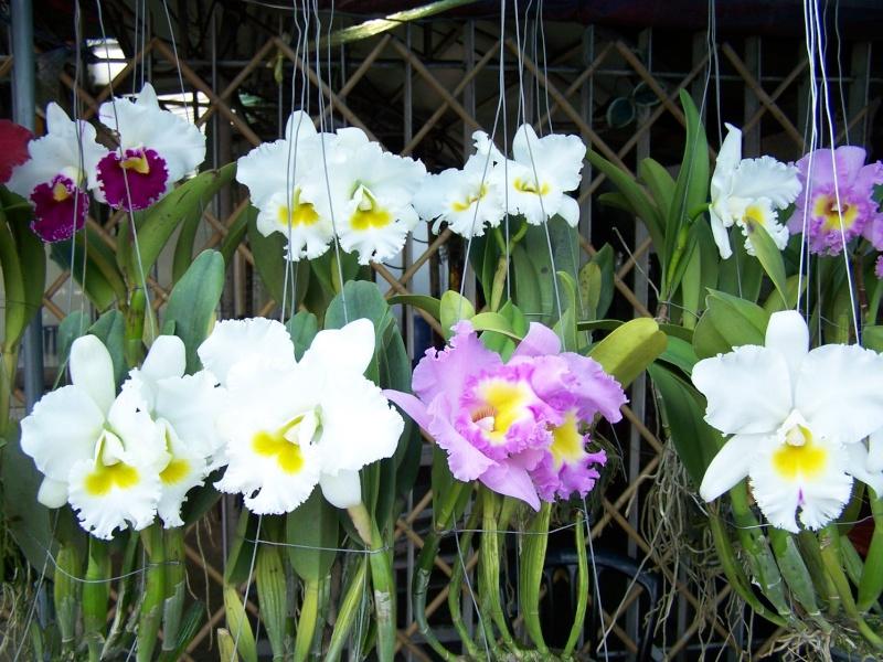 Orchidées, marché de Chatuchak, Bangkok 100_7711