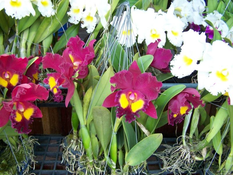 Orchidées, marché de Chatuchak, Bangkok 100_7712