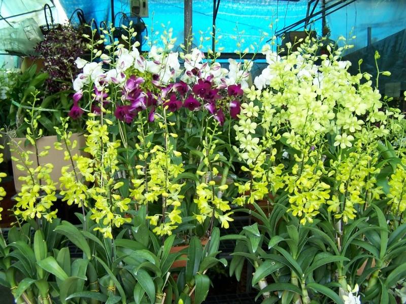 Orchidées, marché de Chatuchak, Bangkok 100_7713