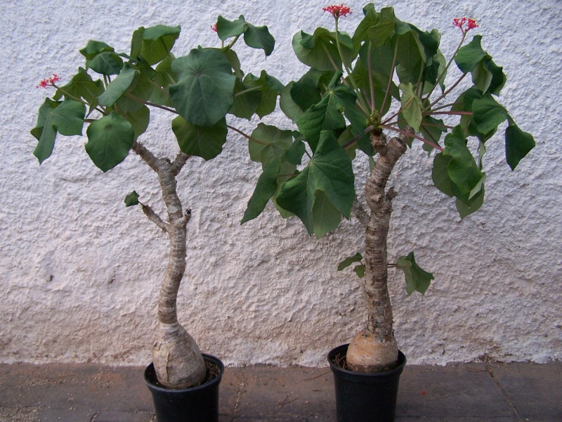 Jatropha podagrica aspects différents selon la culture Aeaeae10