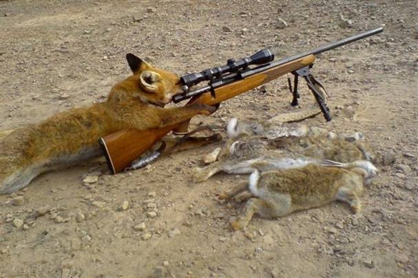 little rabbit hunt Fox_hu10