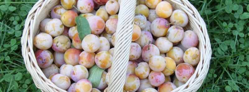 C'est la saison de la cueillette des mirabelles! - Page 2 Img_9417
