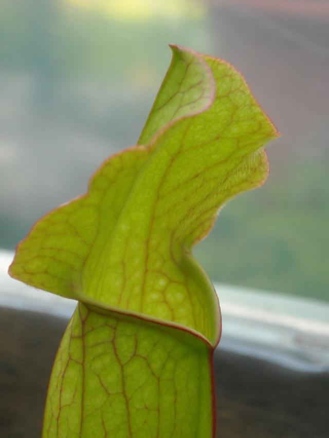 Mes meilleurs photos de plantes carnivores 1er partie... Plante42