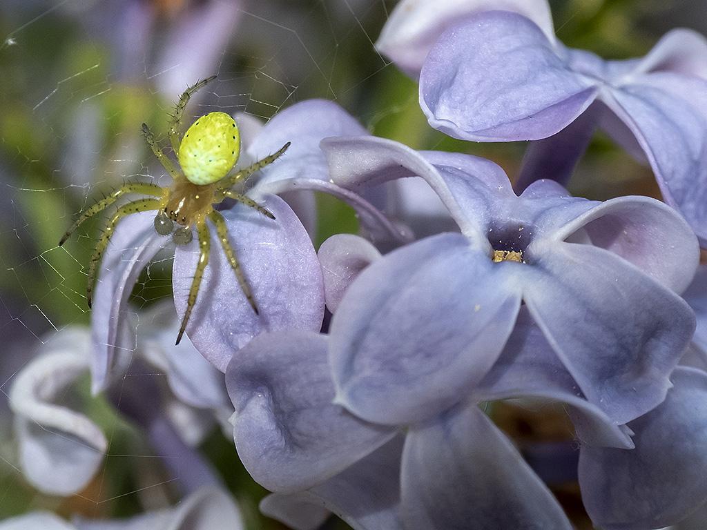 Invitée dans le lilas.. Dscf4310