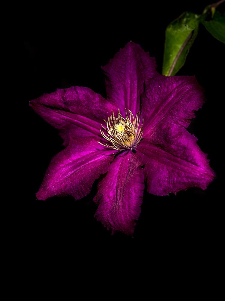 [Flore] Black colors. P1010143
