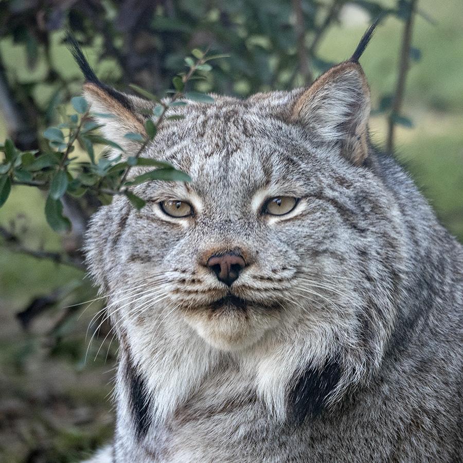 Lynx.... P1030411