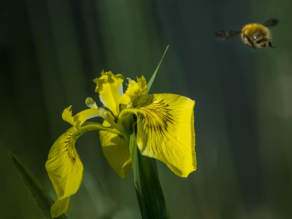 L'iris jaune .. P5130110