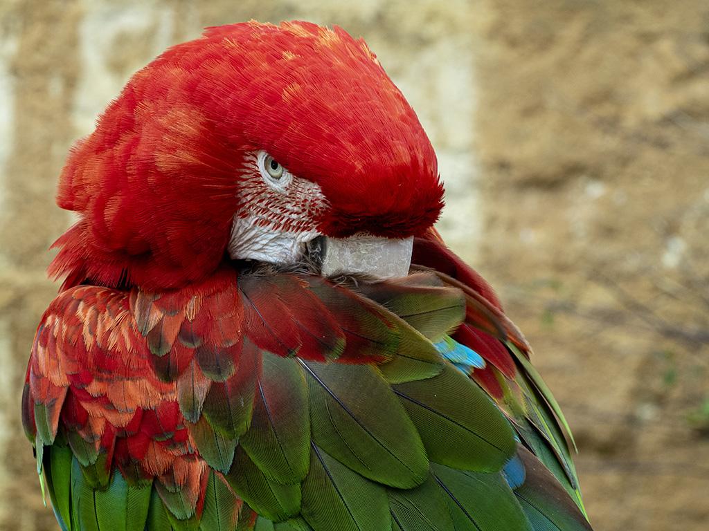 Perroquets  P5190012