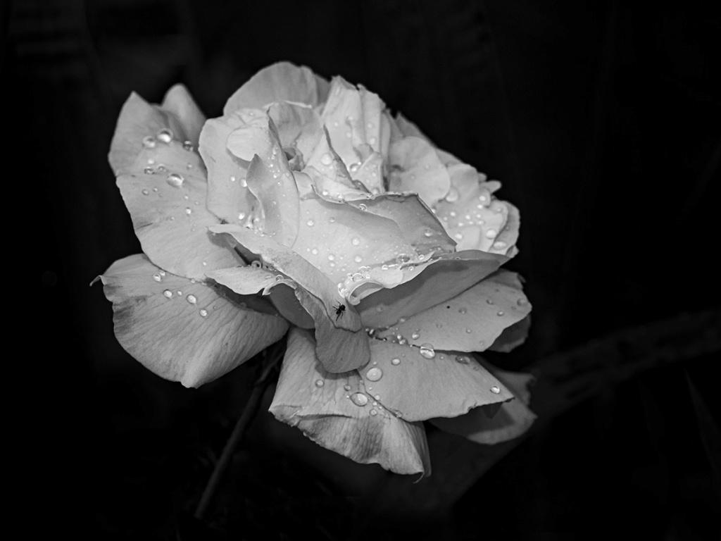 Fleurs du jardin : 4 Mon amie la rose... P6040110