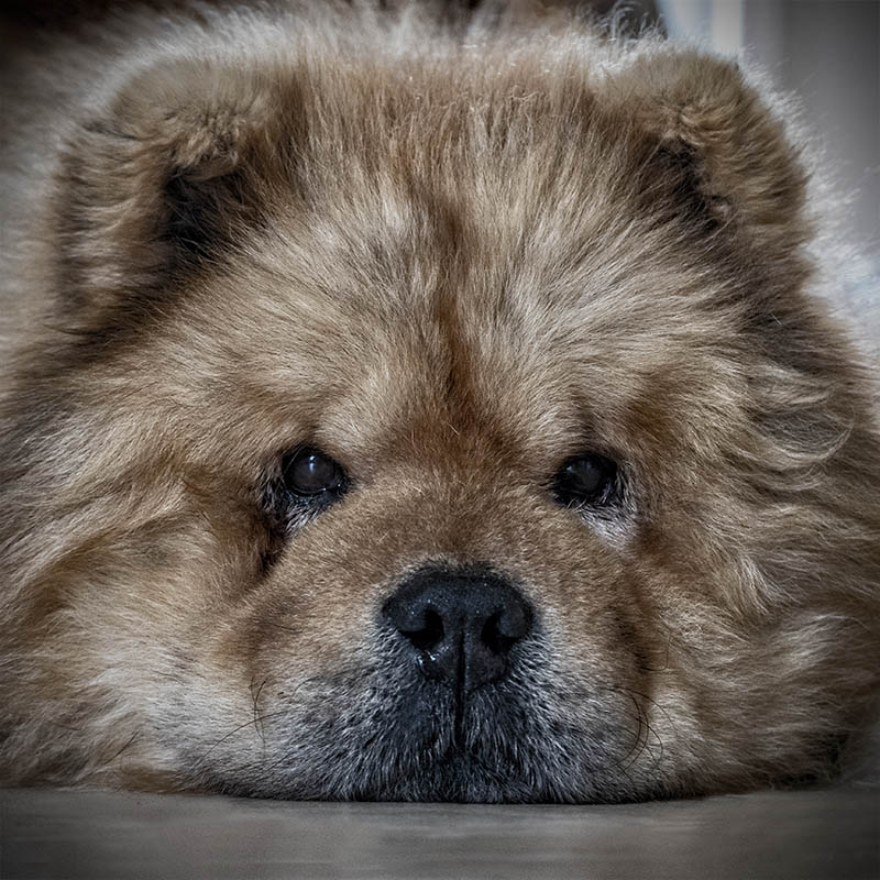 Symétrie canine ....  Simba_10
