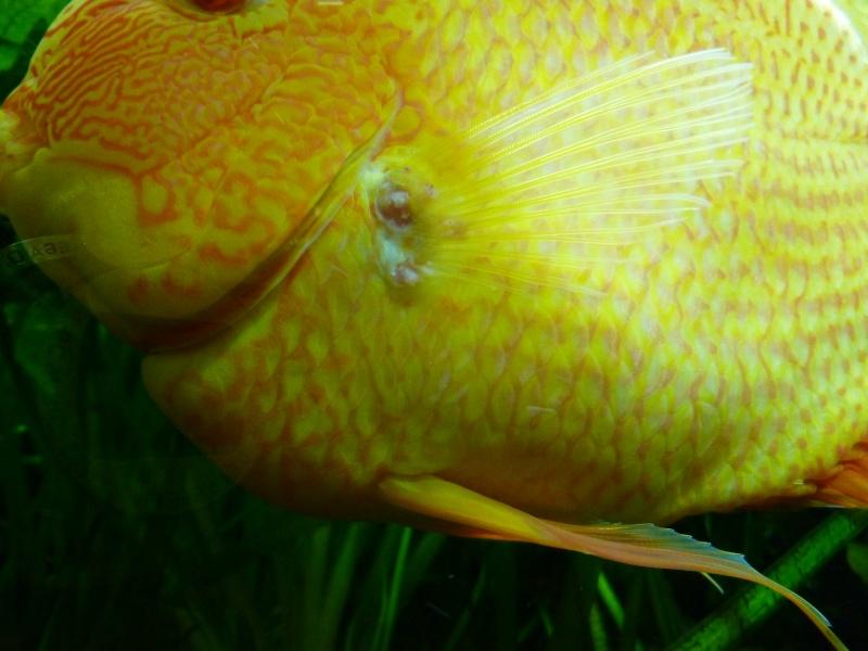 Excroissance rosâtre à la base d'une nageoire P1000710