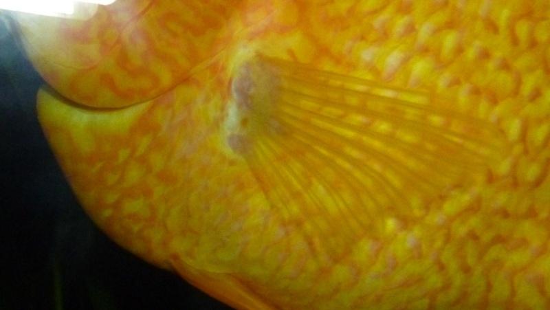 Excroissance rosâtre à la base d'une nageoire Prob10