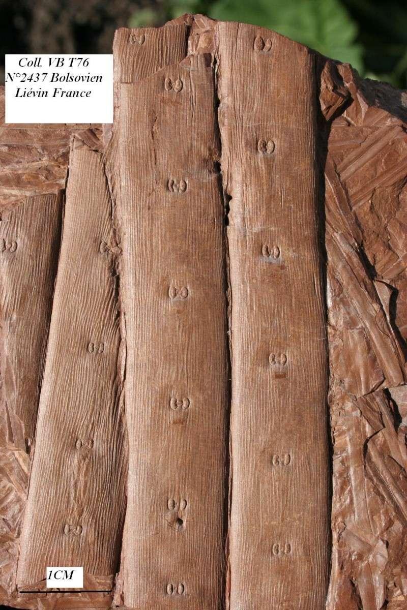Traces de prédation  et perforations d 'insectes  29_09_10