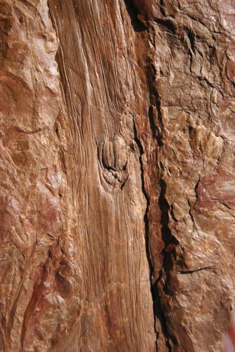 Trigonocarpus  Pachytesta  Hexagonocarpus  29_09_24
