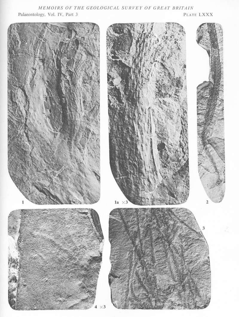 Bothrodendron Lindley et Hutton ,1833. File1810