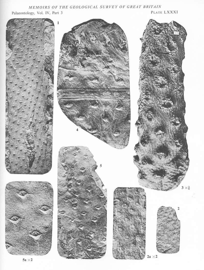 Lepidophloios Sterzel , 1907. File1812