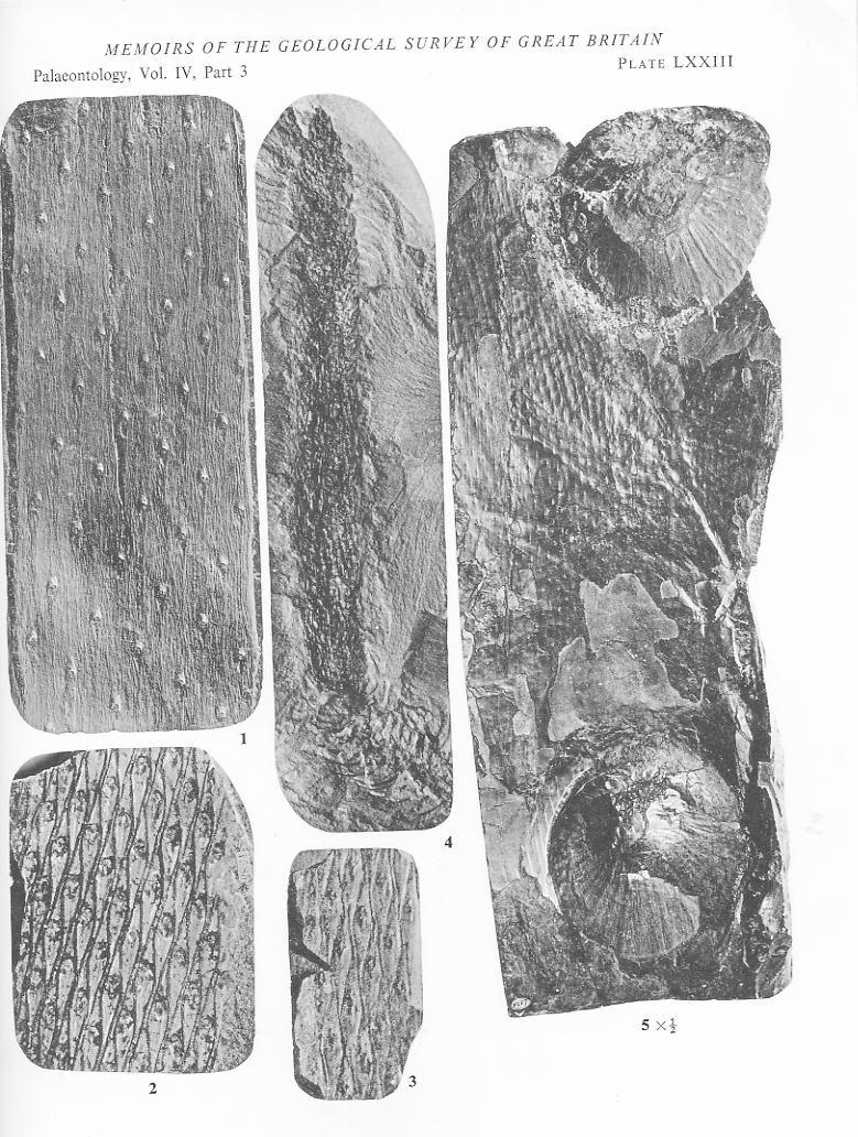 Bothrodendron Lindley et Hutton ,1833. File1815