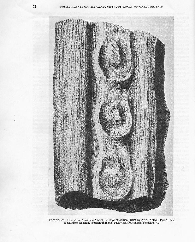 Megaphyton Artis , 1825 . File2510