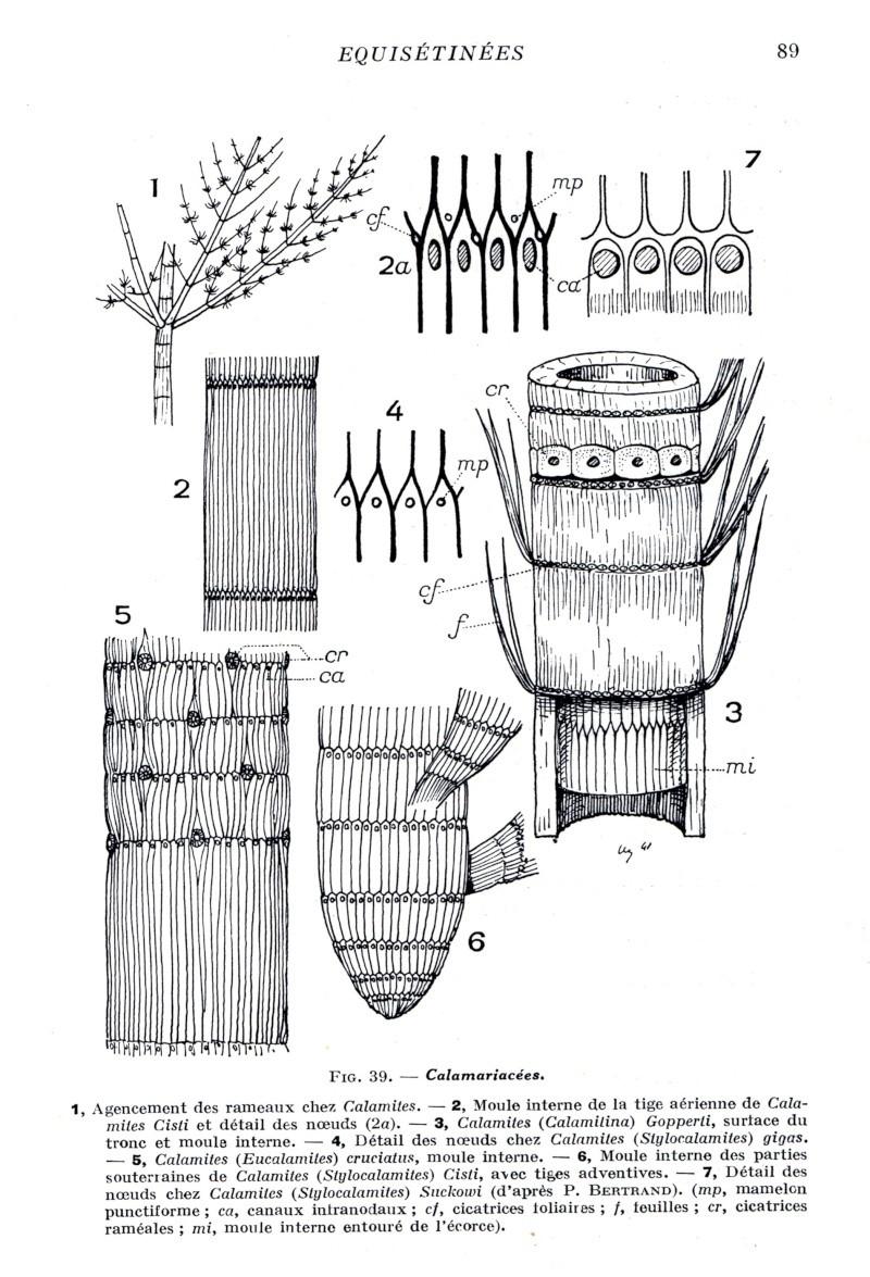 Calamites Schlotheim ,1820.  Annularia sternberg , 1822 .  Img49010