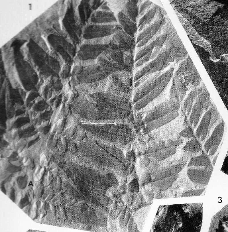 Neuropteris (Brongniart ) Sternberg , 1825. Img49110