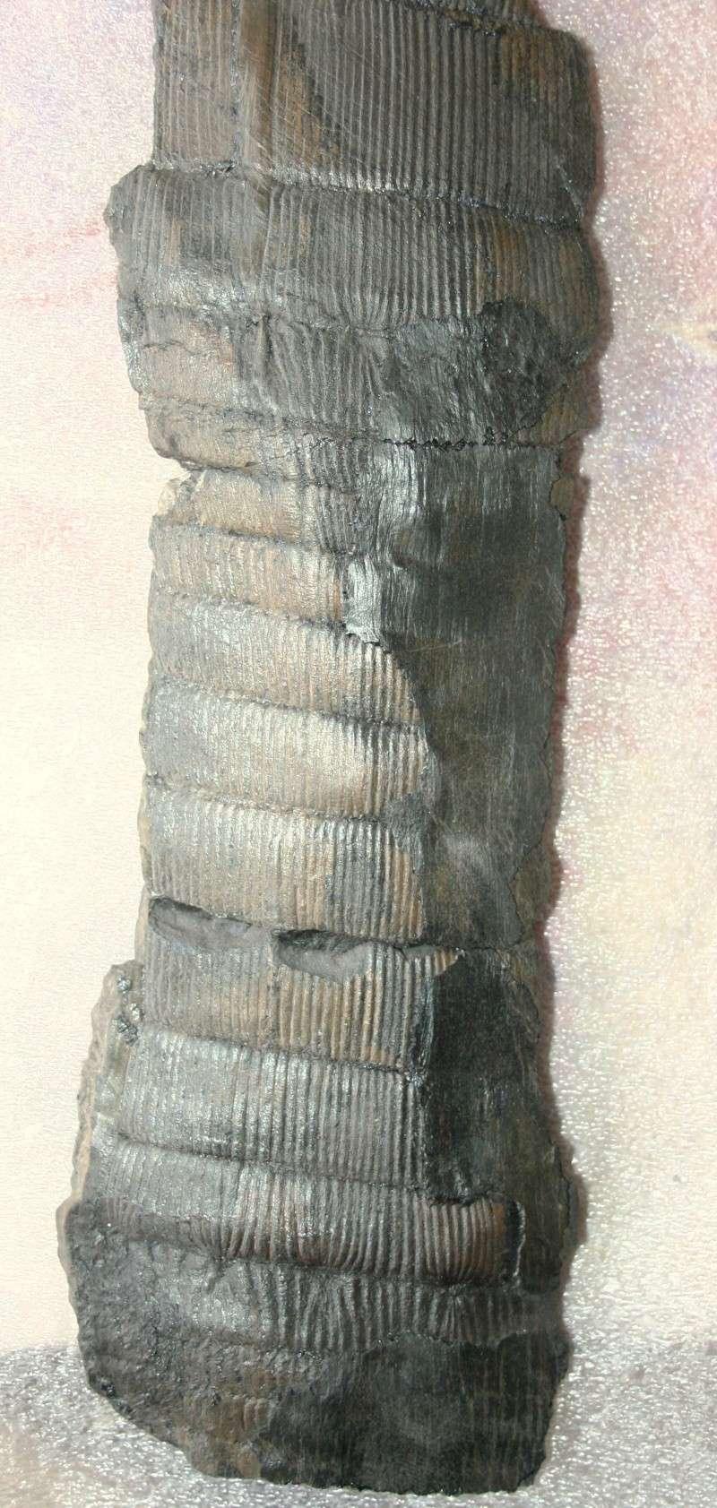 Calamites Schlotheim ,1820.  Annularia sternberg , 1822 .  Img_4514