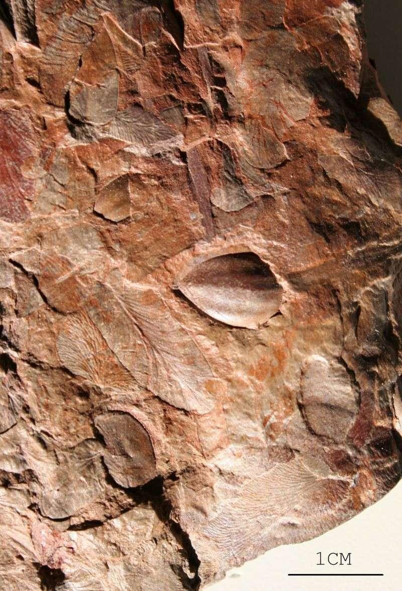 Trigonocarpus  Pachytesta  Hexagonocarpus  Img_5410