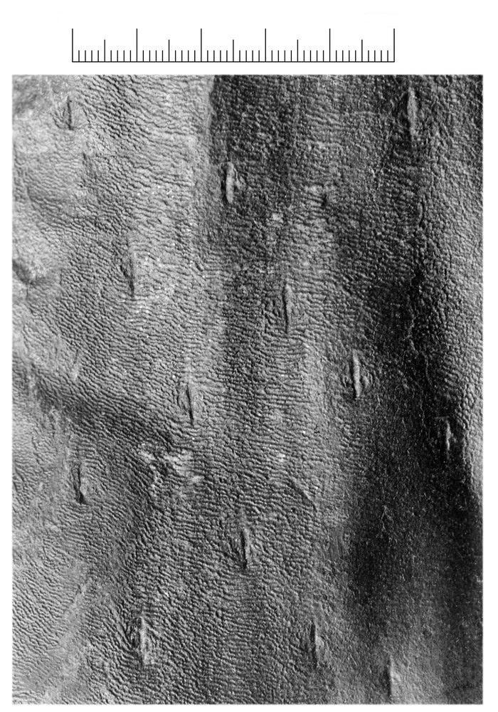 Bothrodendron Lindley et Hutton ,1833. P6858910