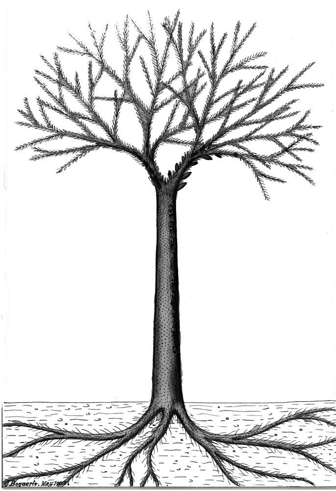 Bothrodendron Lindley et Hutton ,1833. P6864310