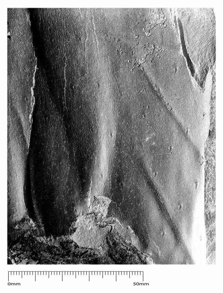 Bothrodendron Lindley et Hutton ,1833. P6888510