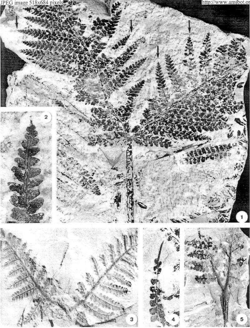 Pseudomariopteris busquetii P_14a_10