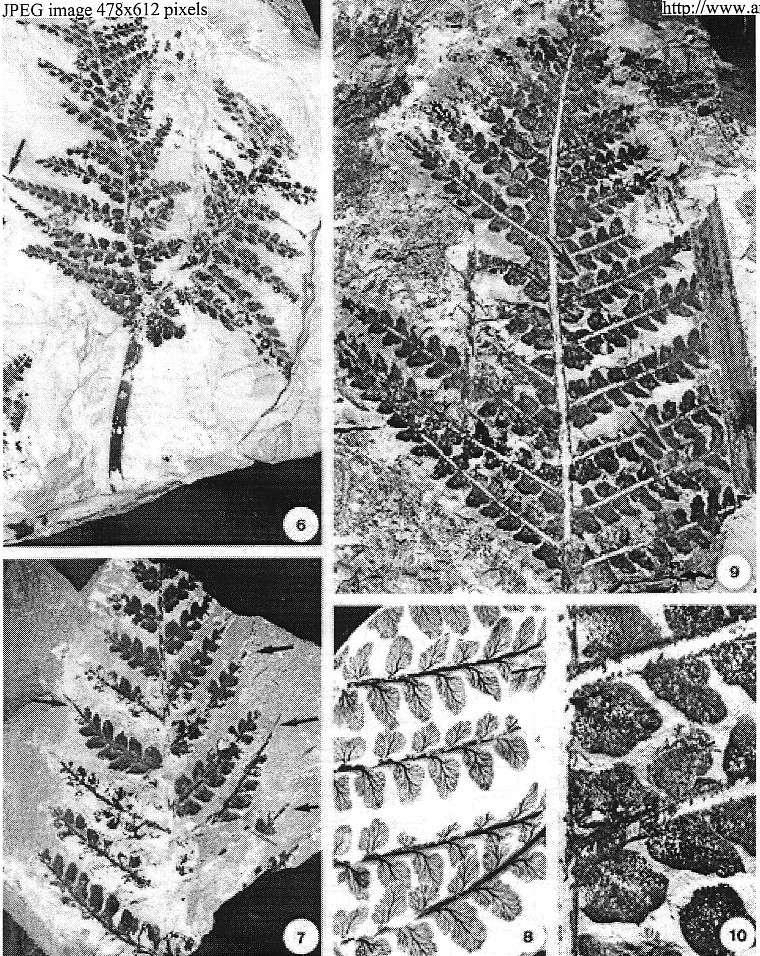Pseudomariopteris busquetii P_15a_10