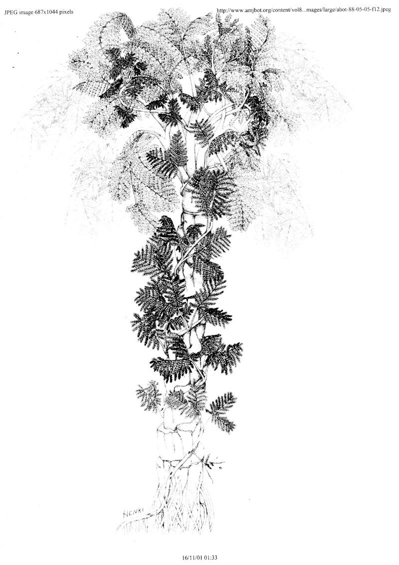 Pseudomariopteris busquetii P_16a_10