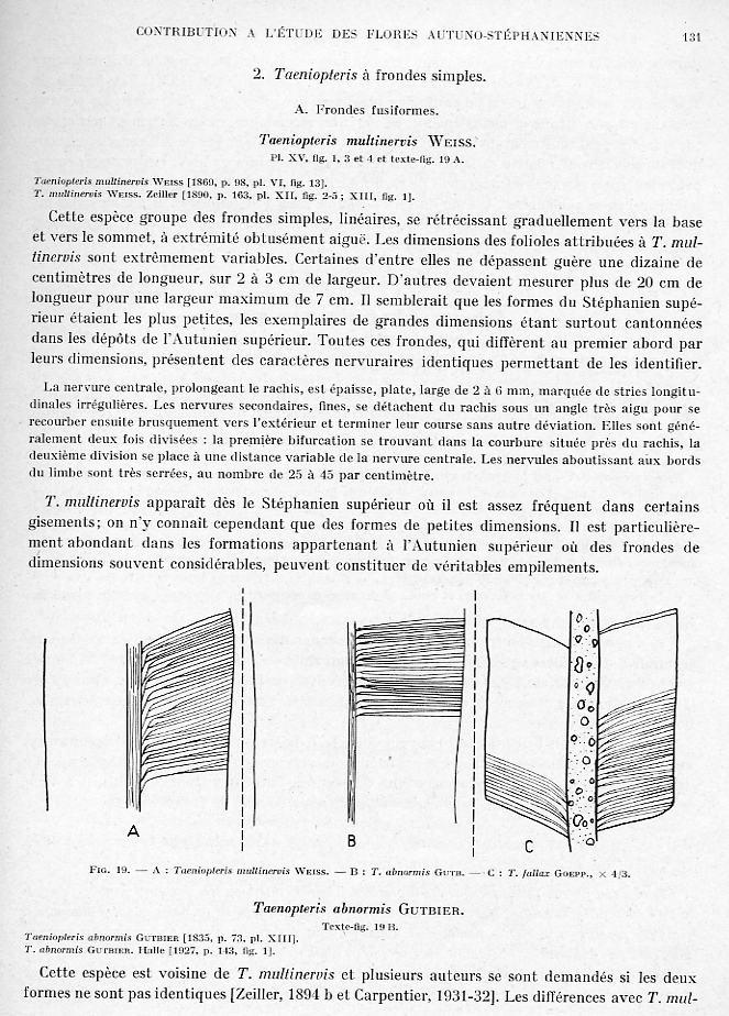 Taeniopteris Brongniart, 1832. Page_113