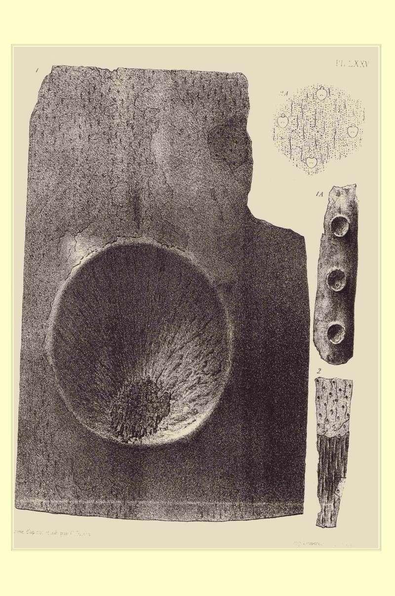 Bothrodendron Lindley et Hutton ,1833. Pl_bot13