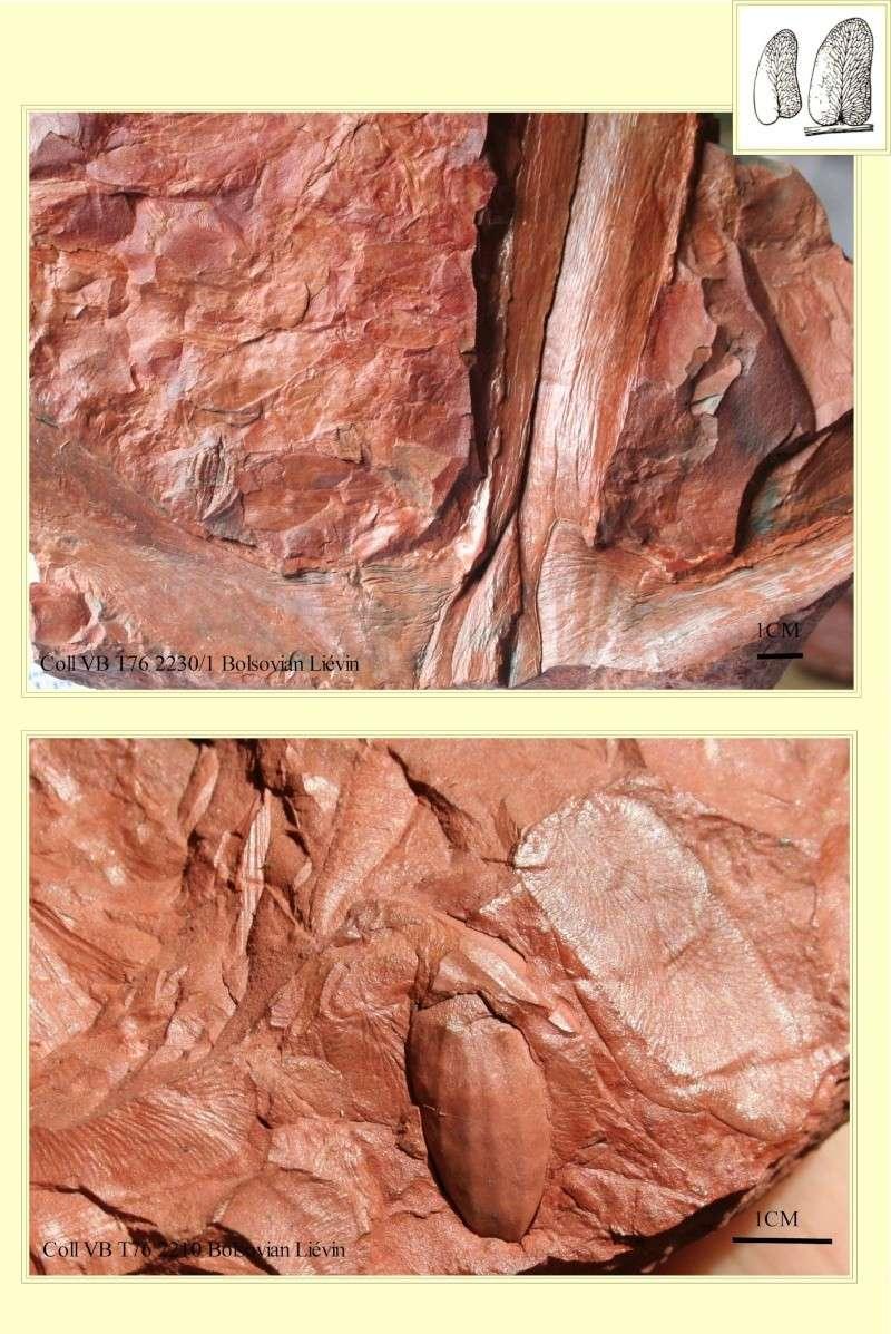 Linopteris Presl , 1838.    Hexagonocarpus Renault ,1890. Pl_hex10