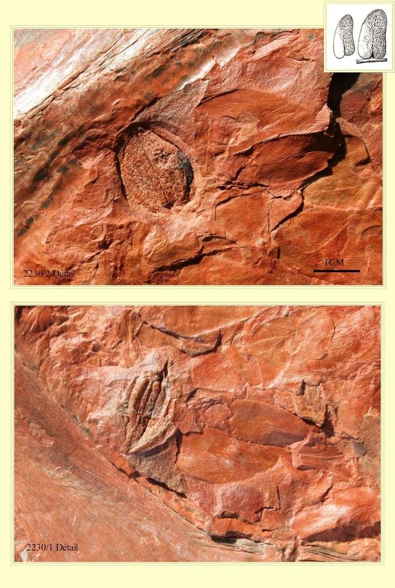 Linopteris Presl , 1838.    Hexagonocarpus Renault ,1890. Pl_hex11