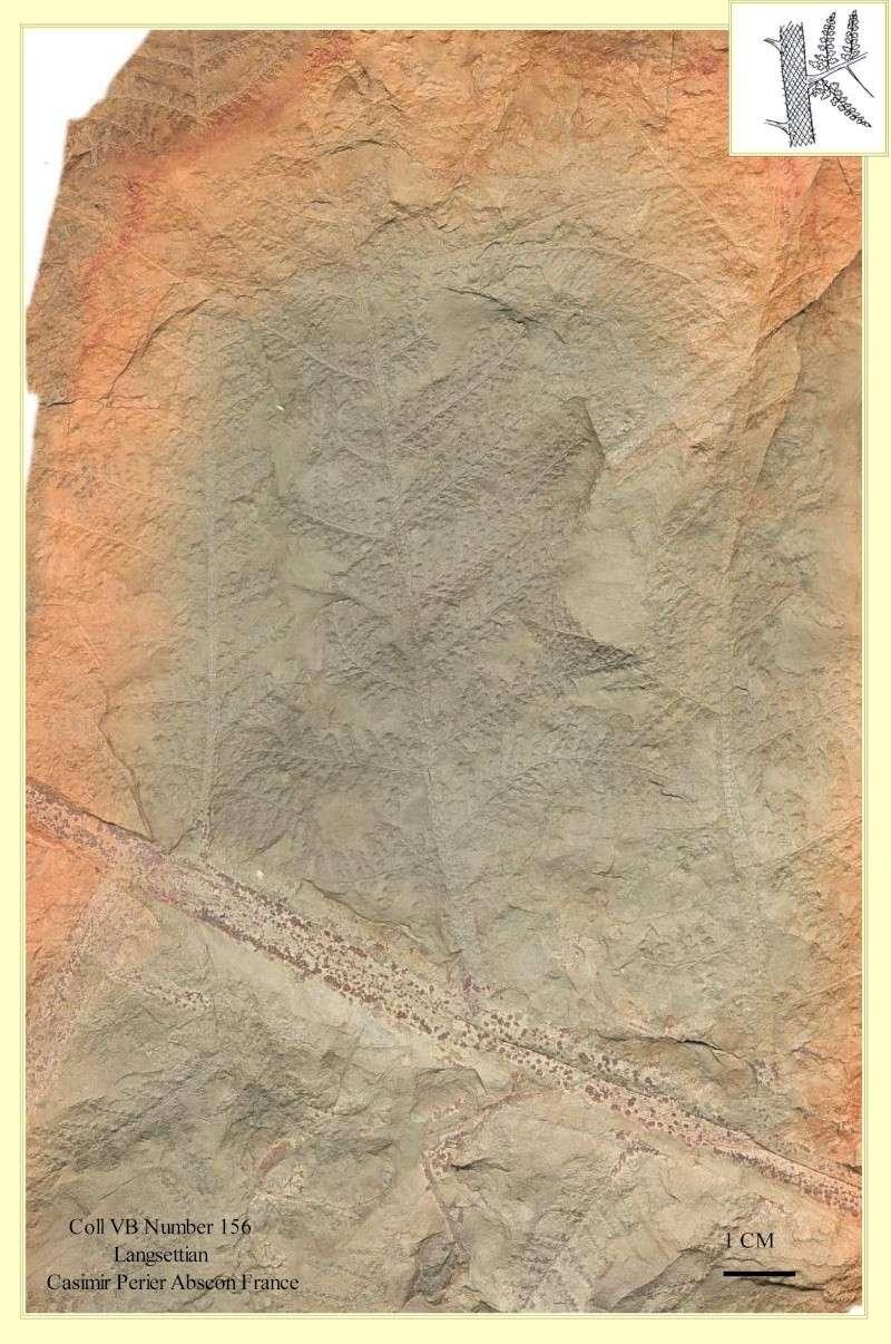 Lyginopteris Potonié , 1897 .  Pl_lyg10