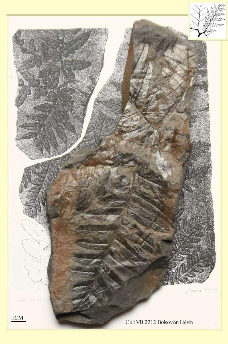 Mariopteris Zeiller , 1879. Pl_mar10