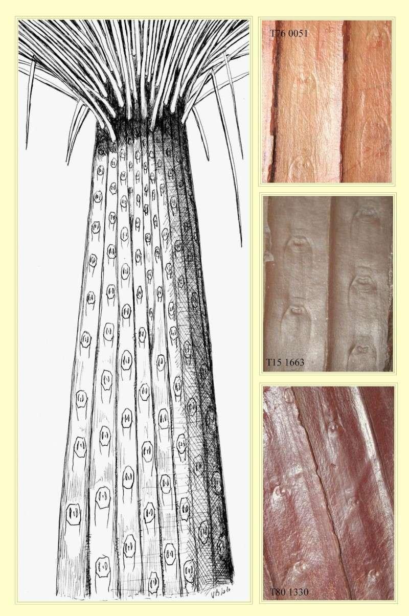 Sigillaria Brongniart ,1822. Syringodendron Sternberg,1820.  Pl_rec10