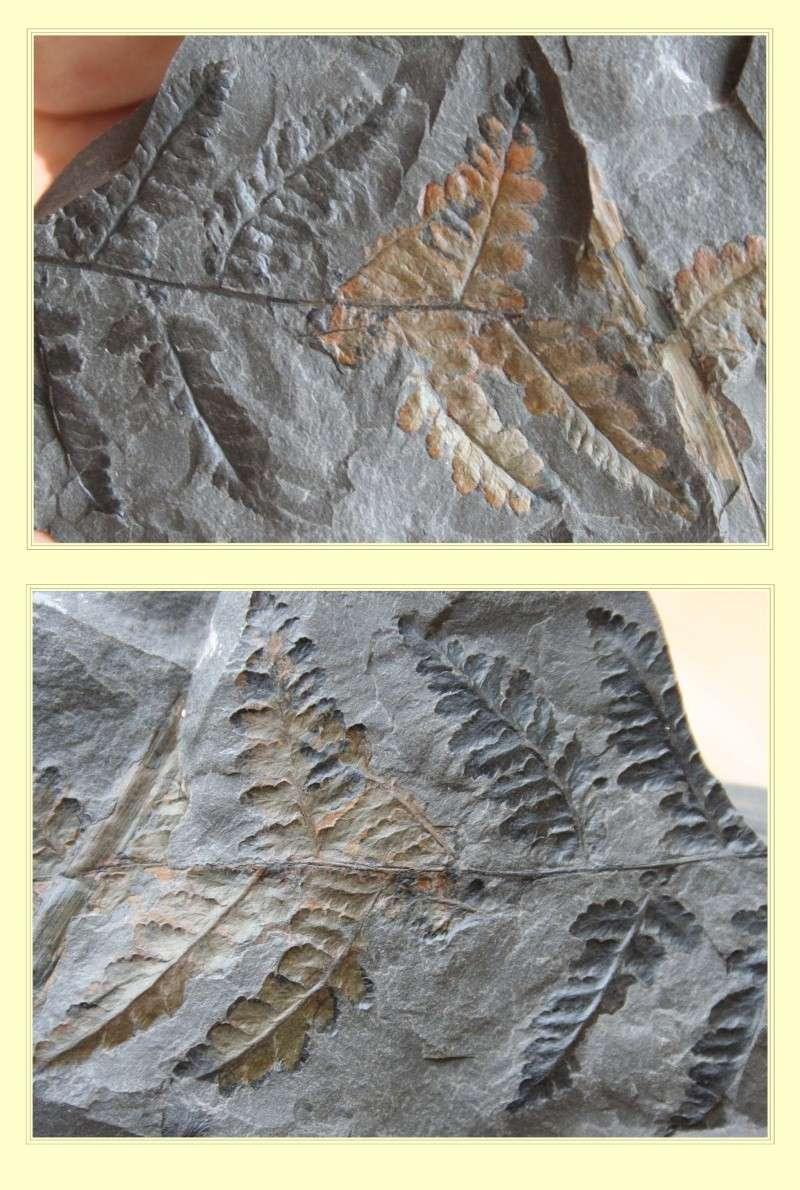 Oligocarpia Goeppert , 1841. Pl_sph10