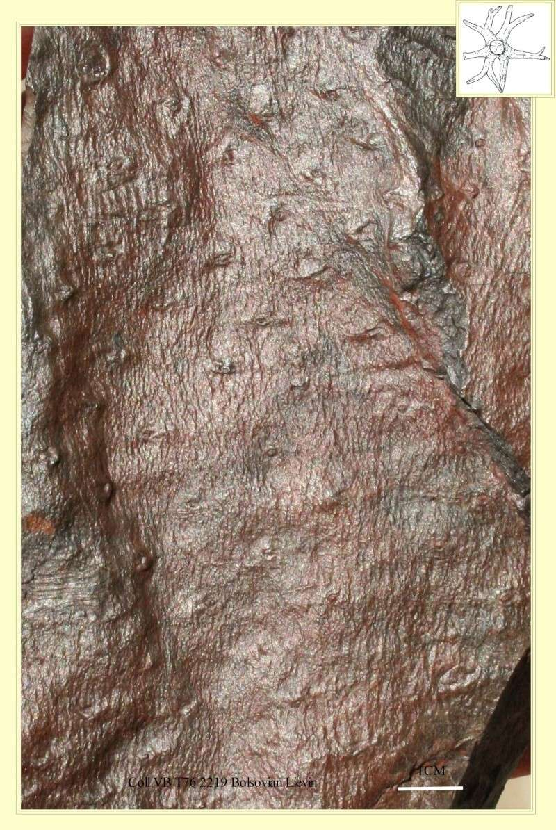 Stigmaria Brongniart , 1822 .  Pl_sti11