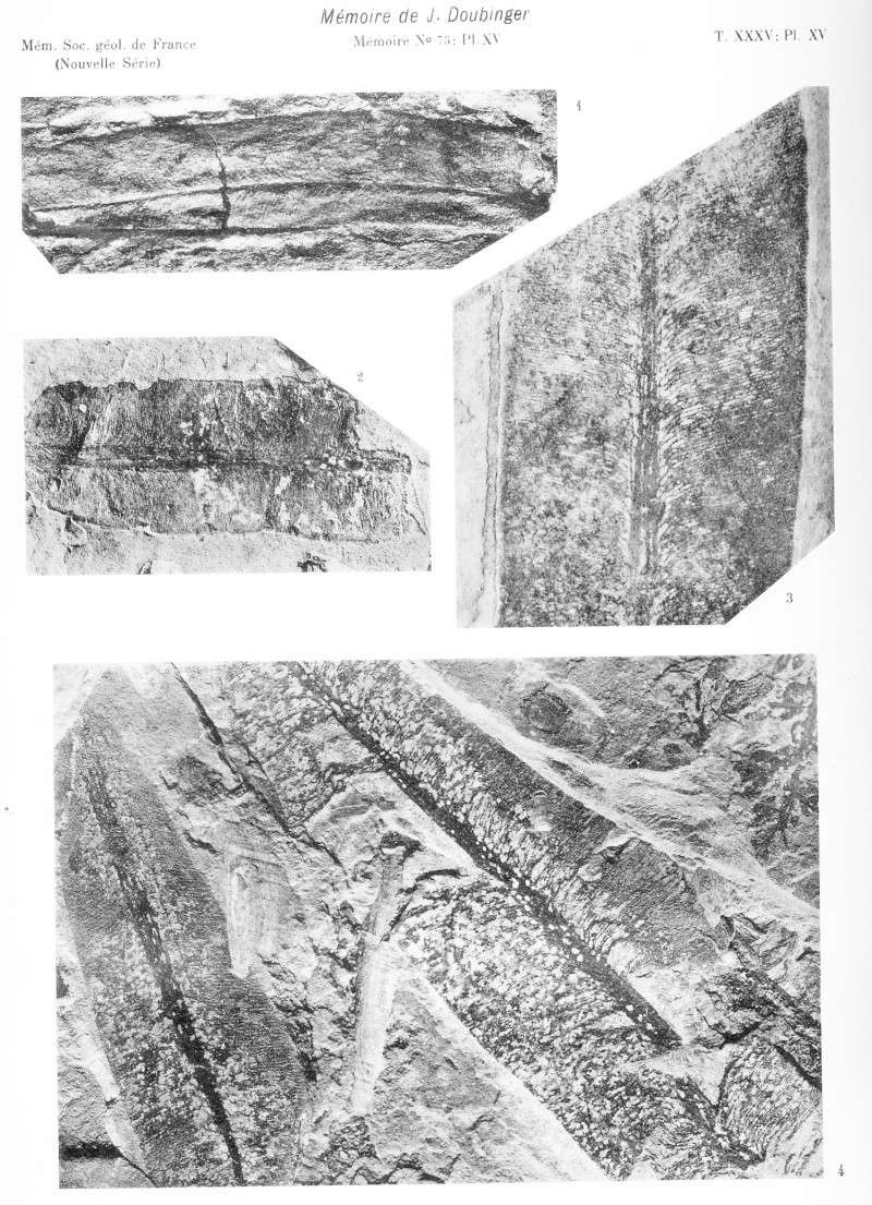 Taeniopteris Brongniart, 1832. Pl_xv10