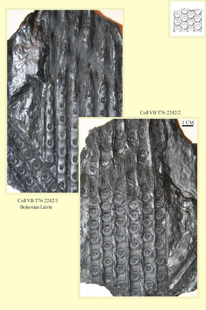 Sigillaria et zone d'insertion des sigillariostrobus Pl_zon10