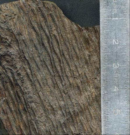 Quelques plantes du carbonifère inférieur (viséen )  Post-110