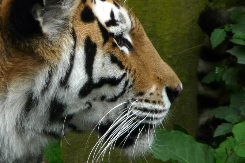 Tigres Photo_10